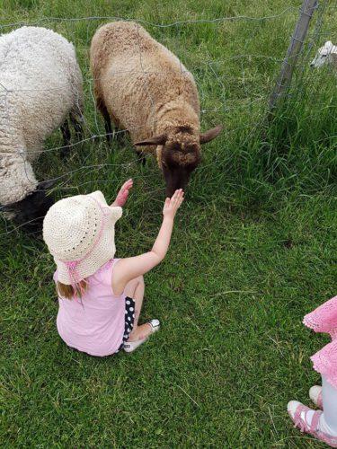 Amalia paijaa lammasta