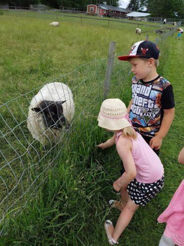 Lampaat oli innoissaan pikkuisista ruokkijoista