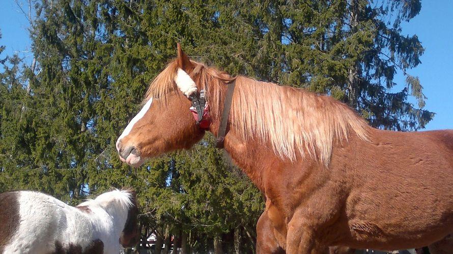 Imppauspanta laitetaan hevosen kaulaa. (Hevonen ei ole tekstissäni mainitsema tamma)