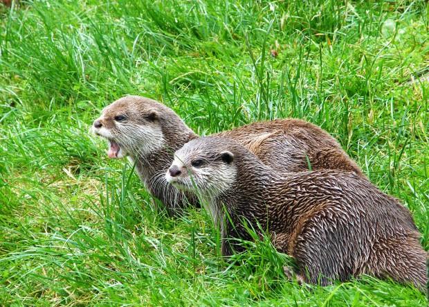 otters-397007_1920