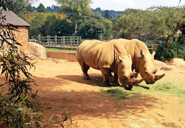 Sarvikuonoja eläintarhassa