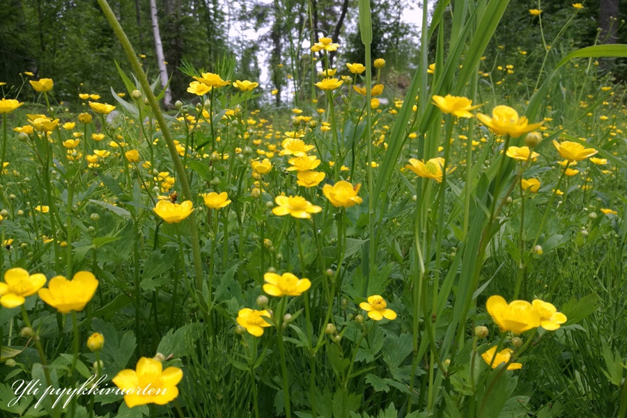 kesä, luonto, kasvio